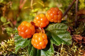 морошка-ягода полезные свойства и противопоказания