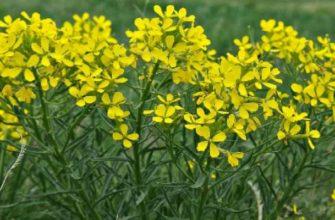 желтушник-лечебные свойства и противопоказания