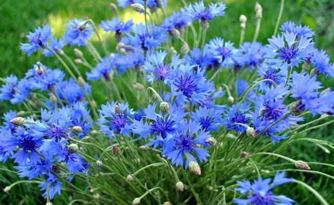 василек синий-лечебные свойства применение