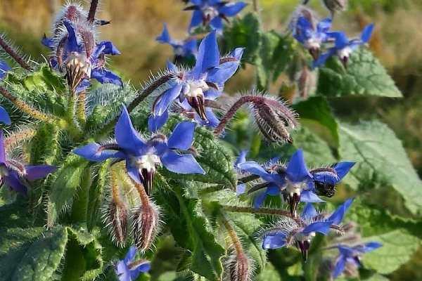 ogurechnaya-trava-poleznye-svojstva-i-protivopokazaniya